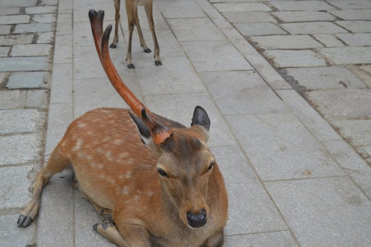 Unusual Deer in Nara